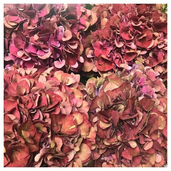 Hydrangea season.. Who needs peonies when we have these beauts gracing each delivery ❤️ 🌸🌺 And the best bit is they dry easily.. They look beautiful when dried cut down into an arrangement or door wreath. ..#instaflorist #instaplants #hydrangea #burnham #windsor #maidenhead