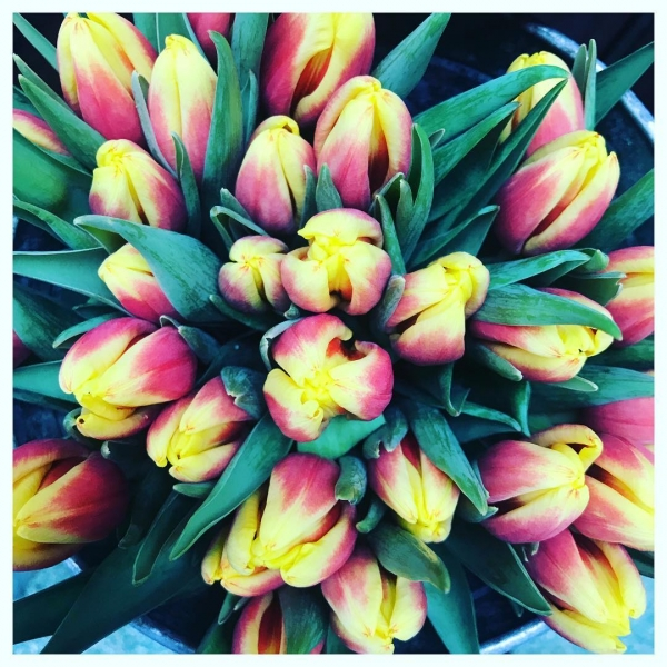 Tulipa 💐😍 Available in a huge range of colours and variety's they never fail to cheer up hearts and homes in dark winter months! ..#tulips #cut #flower #spring #winter #supportlocal #victoriajane #stems #colours #burnham #windsor #maidenhead #ascot #slough #taplow
