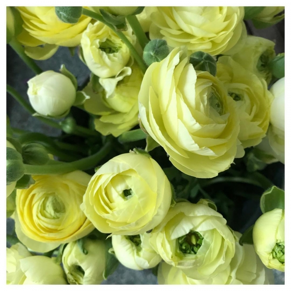 Making the most of these beauties while we can! My favourite spring flower, I do wonder how I will cope when the season ends!.. Then I notice Peonies in the market! 😍 #favourite #yellow #spring #summer #ranunculus #peonies #fresh #delivery #flowers #florist #underthefloralspell #love #happyplace #florist #shop #burnham #windsor #taplow #slough #maidenhead #victoriajaneflowers