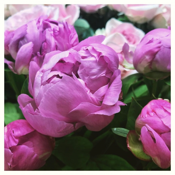 Yes, it's finally time! 😍 #peonieseason ...#peonies #pink #pretty #flemming #floristsofinstagram #underthefloralspell #wedding #summeriscoming #smile #victoriajaneflowers #independentwoman #florist #flowers #shop #retail #gift