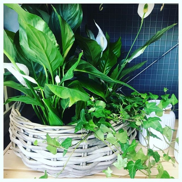 Spathiphyllum (Peace Lily) plant.. These understated hardy houseplants have joined us in the shop today! They make an excellent addition to any home, not only are they easy to take care of but they also work as a room humidifier! The Peace lily absorbs moisture in the air through its leaves! ❤️🌸🌿 One of these beauties are definitely making its way home with me tonight!...#peacelily #houseplant #indoorplants #green #fresh #tips