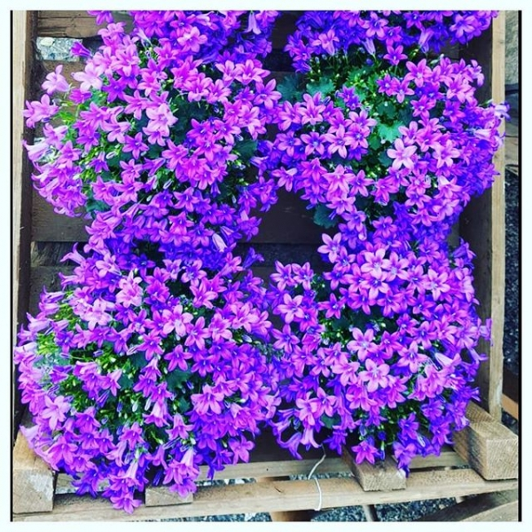 Beautiful Campanula gracing our shop this morning! Perfect 'pop' of colour making a lovely little gift for a friend or yourself :) ....#plants #plantsofinstagram #flowerstagram #campanula #purple #gifts #home
