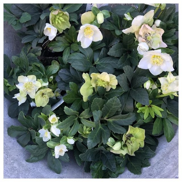 Stunning Helleborus plants have graced our shop today.. A splash of winter sunshine in a garden these are my Ultimate favs 😍 Great price point for a little gift too #instaflorist #helleborus #garden #winter #autumn #white #shop #independent #victoriajaneflowers #springiscoming #insta #Burnham #windsor #maidenhead #winterrose