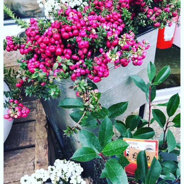 Snowberry anyone?!.. 😍❄️ Symphoricarpos are definitely my favourite thing about the winter! ❤️...#instaflorist #instaplant #snowberry #winter #autumn #plantsofinstagram #florist #symphoricarpos #bucksflorist #victoriajaneflowers #maidenhead #autumn #localflorist