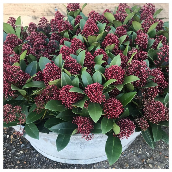Yummmmmmmmm! 😋 Gorgeous Skimmia plants just arrived! A 'pop' of colour in a winter garden! Just gorgeous ❤️... #garden #skimmia #red #flower #maidenhead #burnham #giftideas #victoriajaneflowers #plantsofinstagram