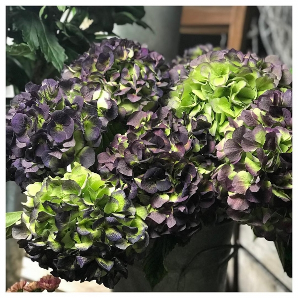 My obsession continues!.. Hydrangea season please never end 😍.These will be perfect for drying...#hydrangea #purple #green #flowers #insta #instaflorist #bucks #autumn #driedflowers #november #victoriajaneflowers #fresh
