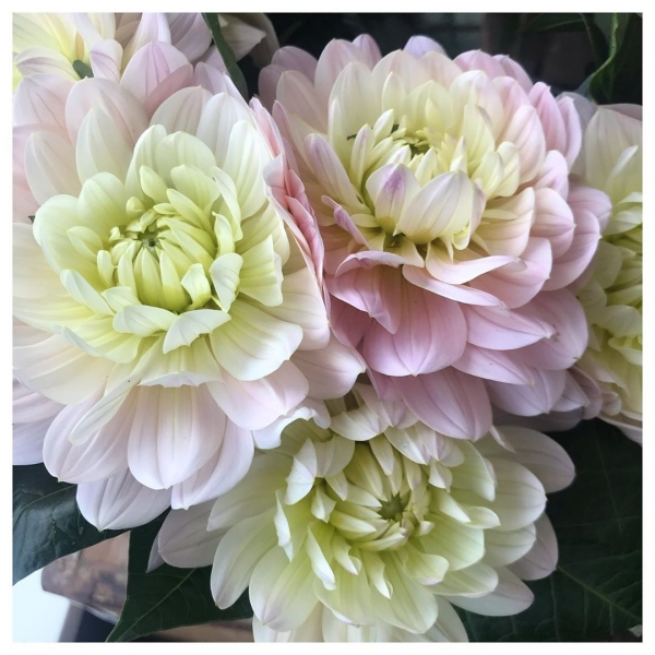 Pretty Dahlias.. Reminds me of Strawberry and cream sweets 🍬💕....#dahlia #cutflowers #home #garden #buckinghamshireflorist #bouquet #florist #delivery #gift #strawberry #cream #pink #pretty #love #victoriajaneflowers