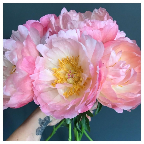 Talk about going out with a bang! 😍Enjoying the the last of the peony's as their season comes to an end!.. what makes these flowers even more special is their short seasonal availability 😍❤️..#peonies #pink #coral #beautiful #pretty #season #cutflowers #florist #flowers #floristsofinstagram #victoriajaneflowers