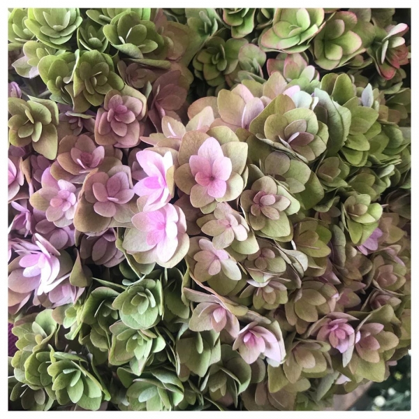 Hydrangea season please don't end! 🌿❤️ Due to the huge variety of types of hydrangea available we are lucky enough to get to enjoy them from spring to autumn. We just love the muted tones and pretty heads on this variety! Called 'royal kiss classic'..# hydrangea #flower #pretty #spring #summer #autumn #instaflower #instaflorist #underthefloralspell #victoriajaneflowers #