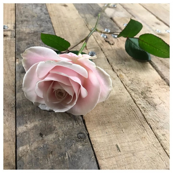I mean.. 😍 These roses never let you down, The Avalanche rose always comes with a full head, layers of scrumptious petals and not only always opens fully, their longevity is unbelievable! They are now available in so many varieties too! I've worked with Avalanche roses for many years and I'm not sure I will ever tire! @avalanche_roses ...#rose #beauty #simplicity #avalanche #singlestem #wedding #funeral #romance #love #underthefloralspell #wow #pink #white #cream #peach #victoriajaneflowers