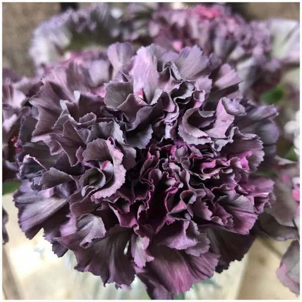 "Carnations (Dianthus) Have a bad reputation often classed as old fashioned. Customers often say without haste ""no carnations!"" But with all the ruffles and long vase longevity we can't help but love them. These beauties named 'Copper' have captured our hearts on this weeks delivery 💓..#carnations #cutflowers #flowers #flowerpower #underthefloralspell #flowerstagram #flowermagic #florist #victoriajaneflowers #notagarageflower #smile #flowersmakemehappy #independent #florist #purple #pink #copper"